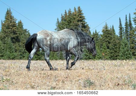 Wild Horse Blue Roan Band Stallion in the Pryor Mountains Wild Horse Range in Montana - Wyoming USA