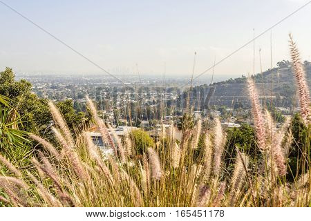 Closeup purple fountain grass flowers over cityscape view of los angeles califonia