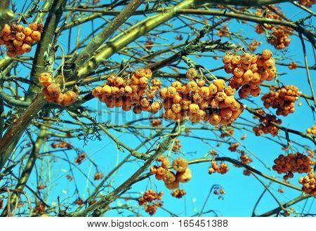 berries of rowan tree against blue sky winter
