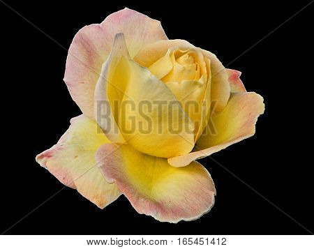 Beautiful bloomed yellow rose on a black background.