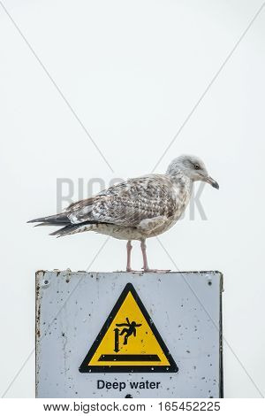 Seagull sitting on a top of a Deep Water warning sign