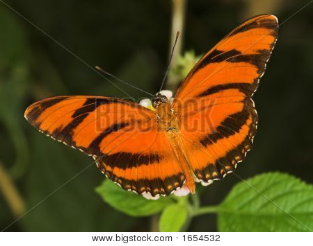 Banded Orange Butterfly
