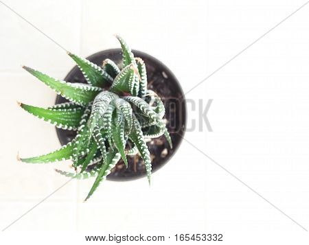Potted green cactus succulent plant top view