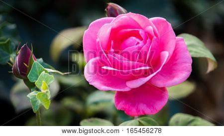 Pink rose in the garden in spring
