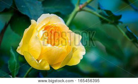 Bud of beautiful yellow rose in spring