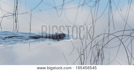 Common beaver (Castor Canadensis) swims quietly along, amongst water grass, in calm lake water on his way to beaver world.  Small animal leaves a wake behind his tail.