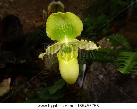 Green Ladyslipper Orchid Flower