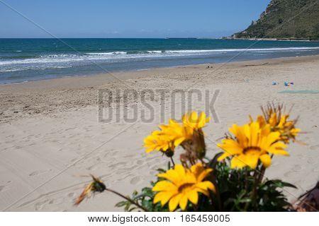 Yellow Gazania flowers in May at Terracina beach Lazio Italy.