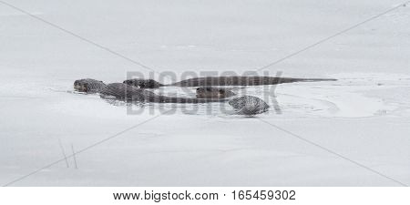 North American river otters (Lontra canadensis) swimming and fishing in the wild.  Last hunt before lake freezes for winter.