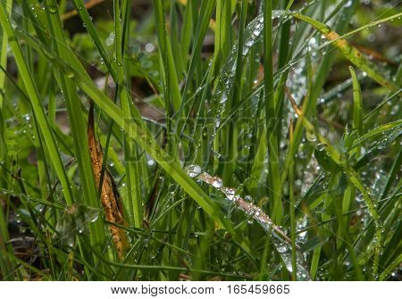 Droplets of water on grass blades in a field during a summer morning.