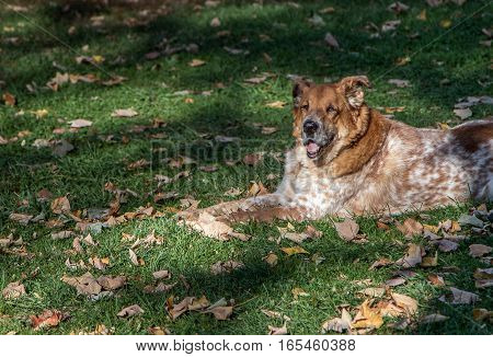 An old dog lying on a grassy lawn.