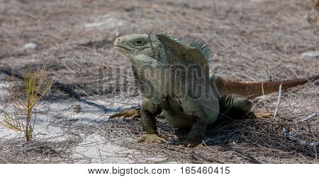 Greenish iguana on hot sand of Turks and Caicos.