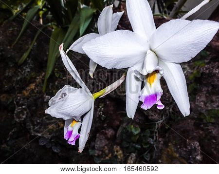 Cattleya mendelii: purple and white exotic orchid