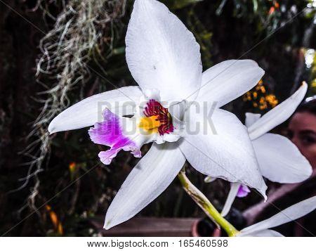 Orchid Belonging To Cattleya Genus