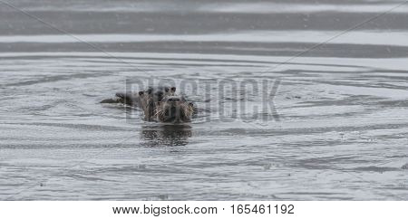 Pair of North American river otters (Lontra canadensis) playing in the wild.  Poke their heads up from cold water on a last swim in winter just before the lake freezes over.