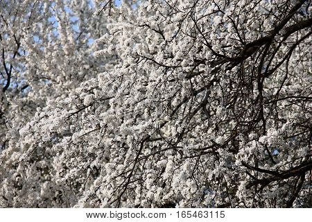 At flowering black branches of a cherry plum are plentifully covered by small white flowers.