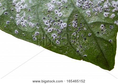 Macro of leaf with insect pest. Insects harming a green leaf isolated on white background.