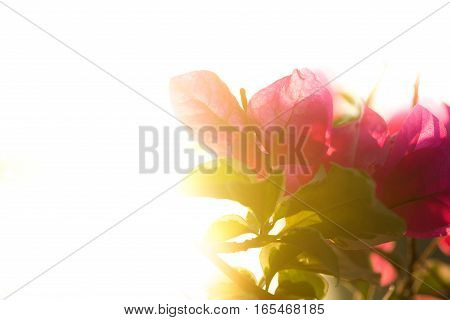 pink bougainvillea flower with leaves beautiful in the white background