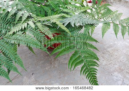 Collected green Leaf fern of close up
