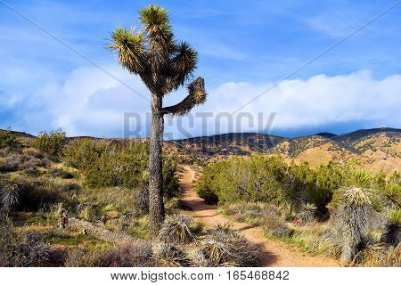 Joshua Tree surrounded by sagebrush and chaparral plants taken on the PCT Hiking Trail at the higher elevations of the Mojave Desert in Tehachapi Pass, CA
