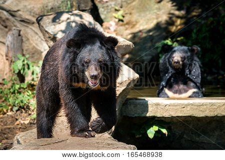 two bears sitting on the rock facing looking camera