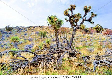 High desert terrain with Joshua Trees surrounded by Sagebrush taken in the Mojave Desert, CA