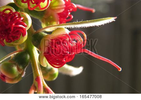 Australian native red bottle brush flower budding on a tree