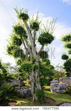 Fresh green Ficus Microcarpa in the park