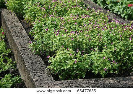 Lush purple flower beautiful with sunlight in the garden