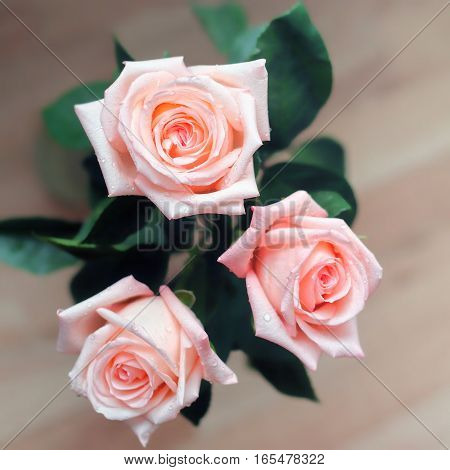 pink rose blossoms on warm tone background soft focus
