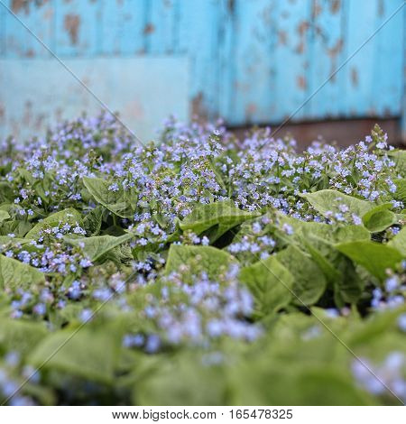 Beautiful nature scene with blooming forget-me plant background nature flower forget-me-blue color soft focus