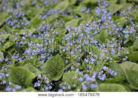 Beautiful nature scene with blooming forget-me plant background nature flower forget-me-blue color Floral background soft focus