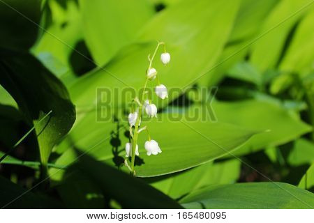 lily of the valley in the sunshine, green leaves background