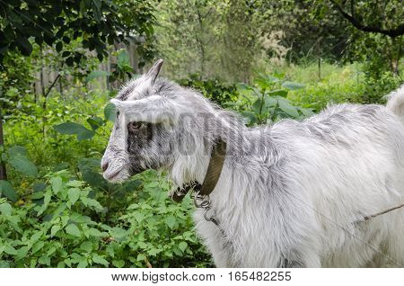 gray goat with small horns in the garden close-up on a green background