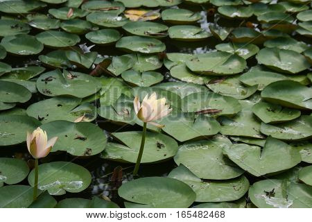 Pink lotus or water lily surrounded by lily pads sprinkled in the pond