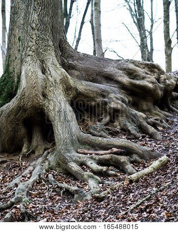 forest floor with old roots extending from the tree