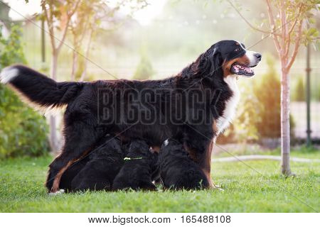 bernese mountain dog feeding puppies outdoors in summer