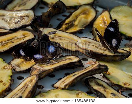 Butterflies feeding on a banana in a butterfly garden