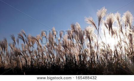 Beautiful serene waving reed in the sunlight. reed silhouette.