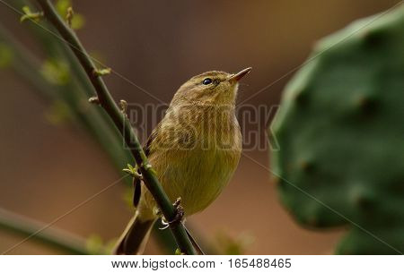 Common chiffchaff bird  on bush branch and looking attentively