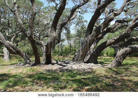 A group of live oak trees on the texas coast.