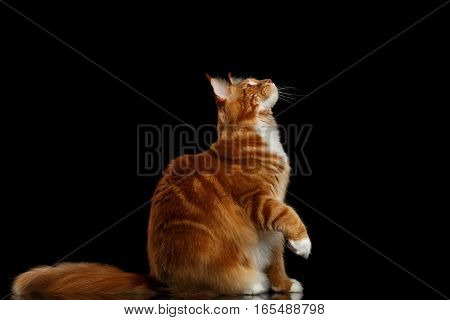 Amazing Tabby Ginger Maine Coon Cat Sitting and Stare up with Furry Tail Isolated on Black Background, Side view