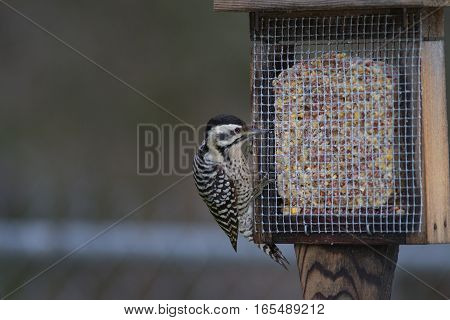 Ladder-backed woodpecker on a home made suet feeder.