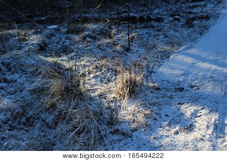 pine snowy forest, beautiful nature in winter - Denmark