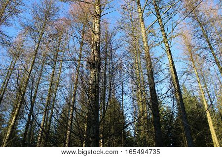 tree tops, forest, beautiful nature in winter - Denmark