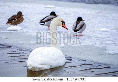 Mute swan and ducks in search of food on the winter river