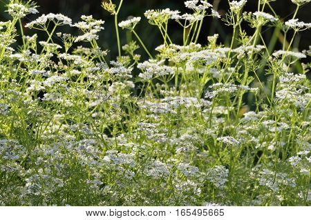Coriander plants, also known as Cilantro or chinese parsley, flowering