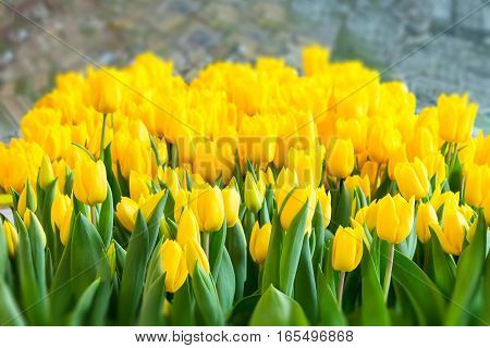 Colorful yellow tulips close-up, spring flower garden, holland symbol background