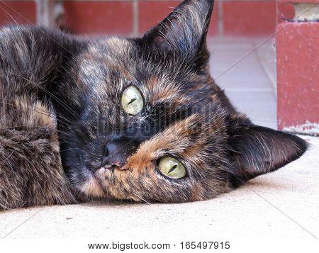 Tortoiseshell calico cat close up of face