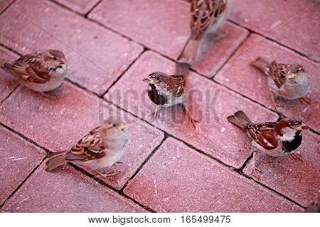 Sparrows sitting on a red stone. Animal macro